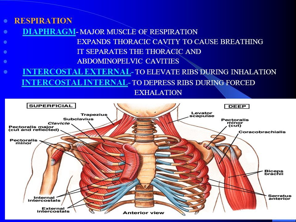 DIAPHRAGM- MAJOR MUSCLE OF RESPIRATION