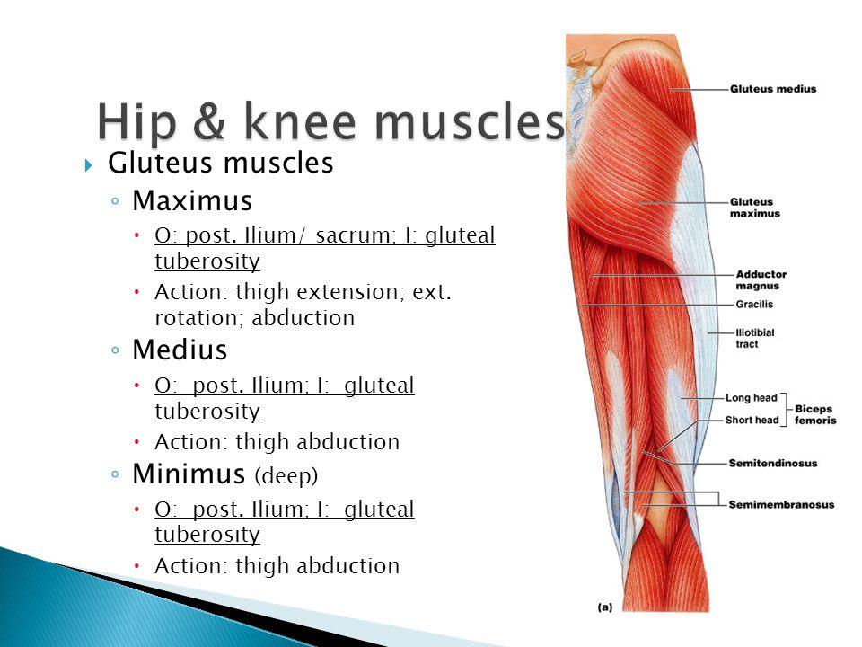 Hip & knee muscles Gluteus muscles Maximus Medius Minimus (deep)
