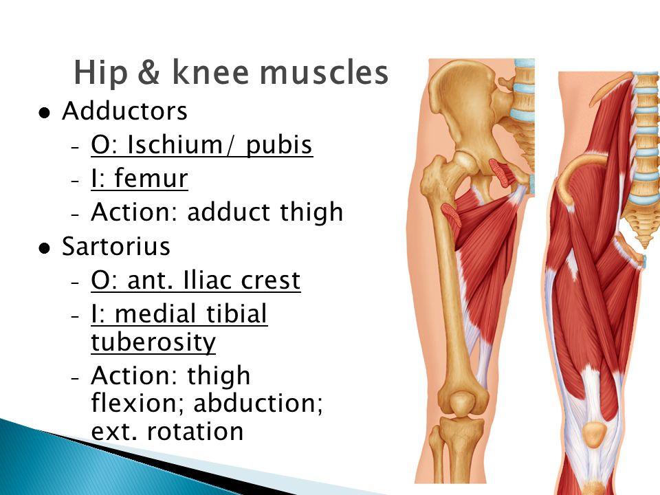 Hip & knee muscles Adductors O: Ischium/ pubis I: femur