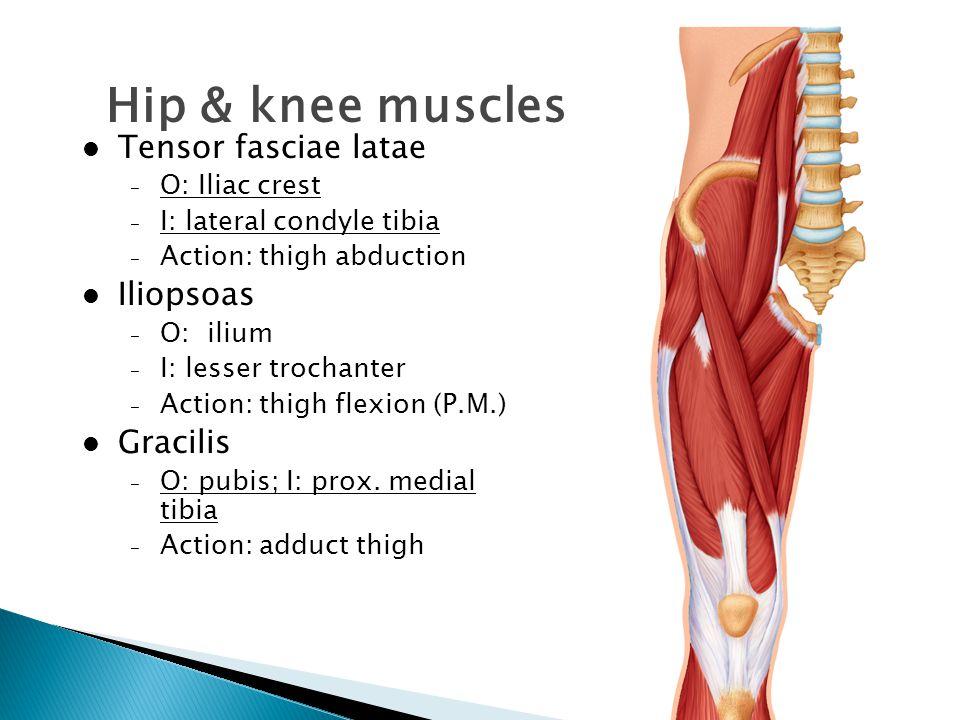 Hip & knee muscles Tensor fasciae latae Iliopsoas Gracilis
