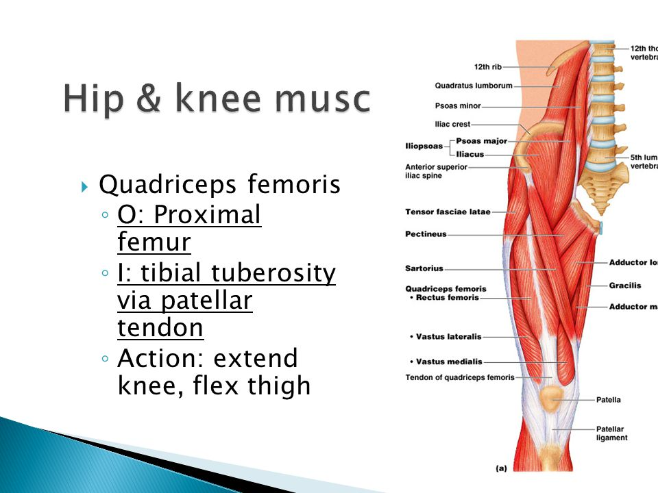 Hip & knee muscles Quadriceps femoris O: Proximal femur