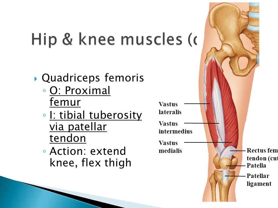 Hip & knee muscles (deep)