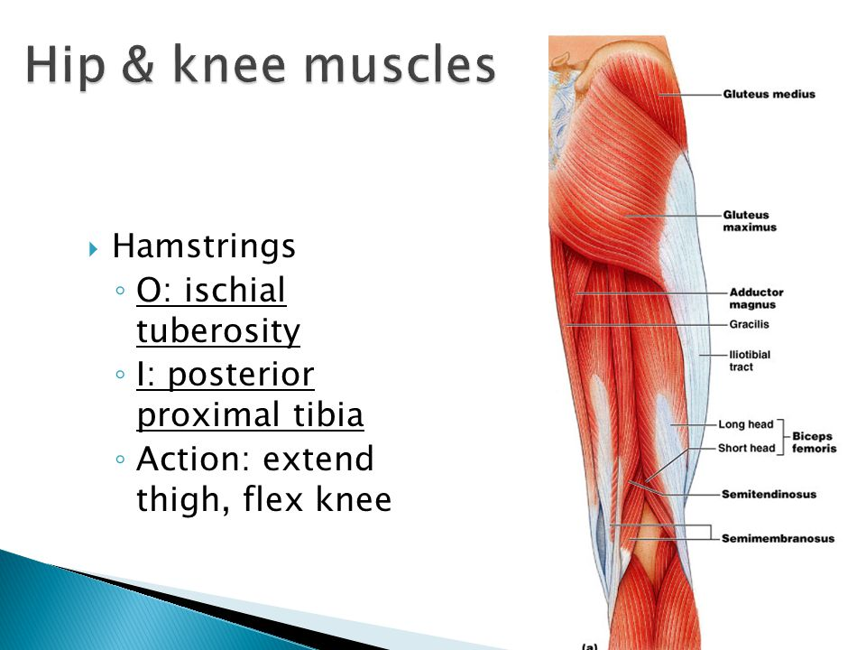 Hip & knee muscles Hamstrings O: ischial tuberosity