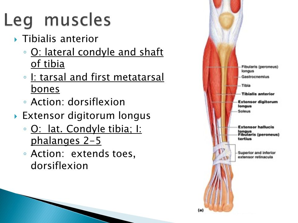 Leg muscles Tibialis anterior O: lateral condyle and shaft of tibia