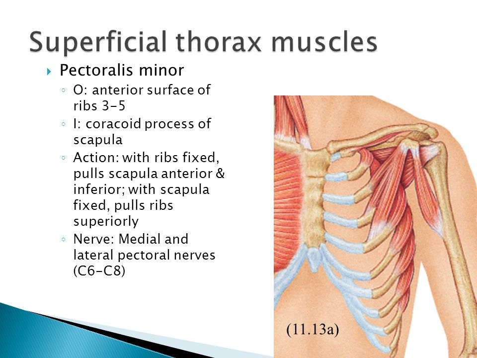 Superficial thorax muscles