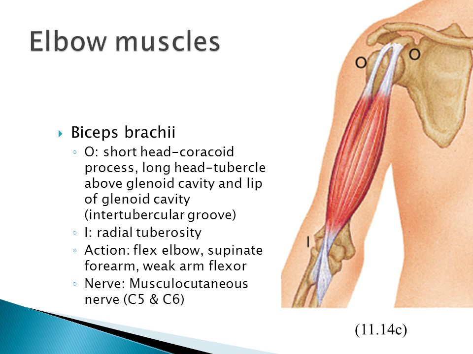 Elbow muscles Biceps brachii (11.14c)