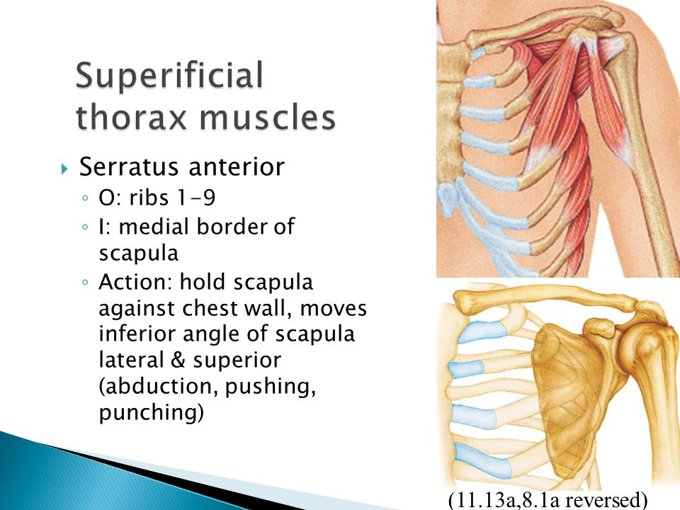 Superificial thorax muscles