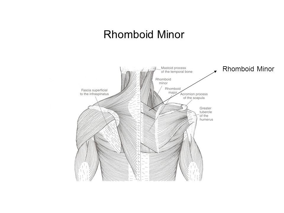 Rhomboid Minor Rhomboid Minor