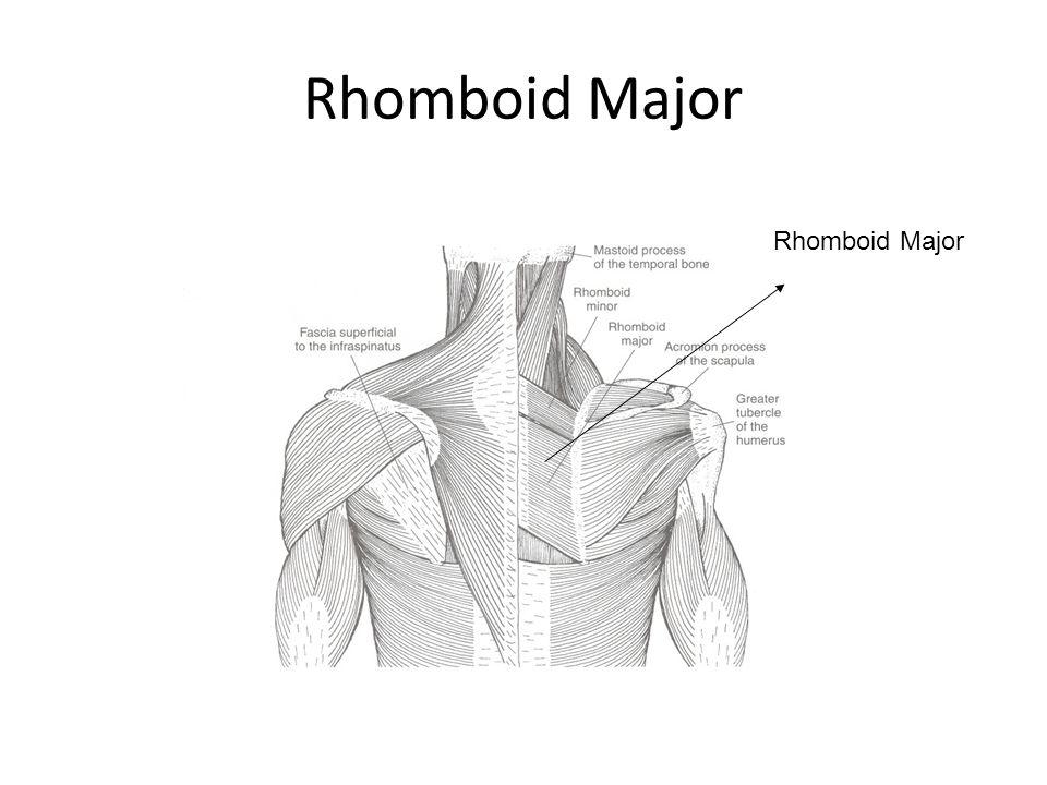 Rhomboid Major Rhomboid Major