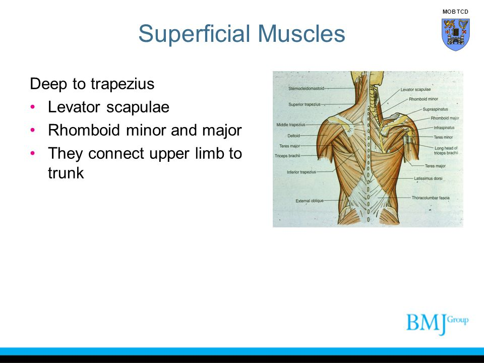 Superficial Muscles Deep to trapezius Levator scapulae