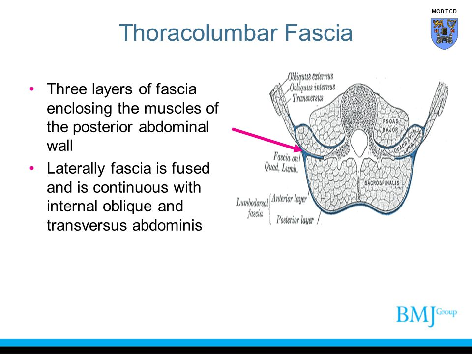 Thoracolumbar Fascia MOB TCD. Three layers of fascia enclosing the muscles of the posterior abdominal wall.