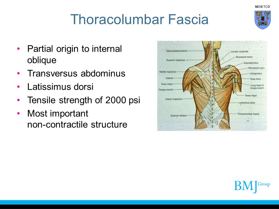 Thoracolumbar Fascia Partial origin to internal oblique
