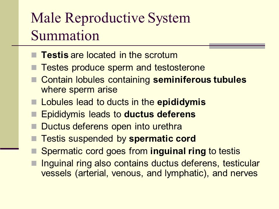 Male Reproductive System Summation