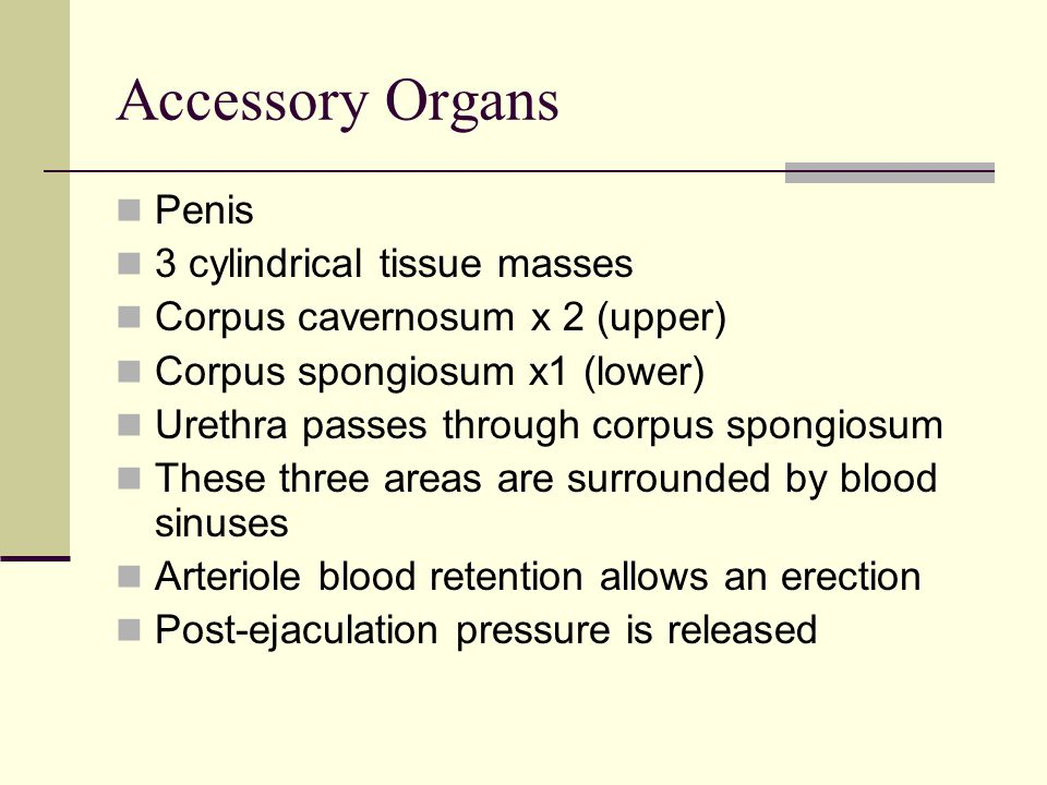 Accessory Organs Penis 3 cylindrical tissue masses