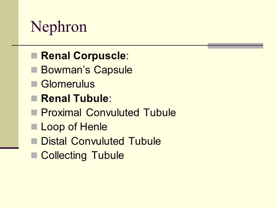 Nephron Renal Corpuscle: Bowman's Capsule Glomerulus Renal Tubule: