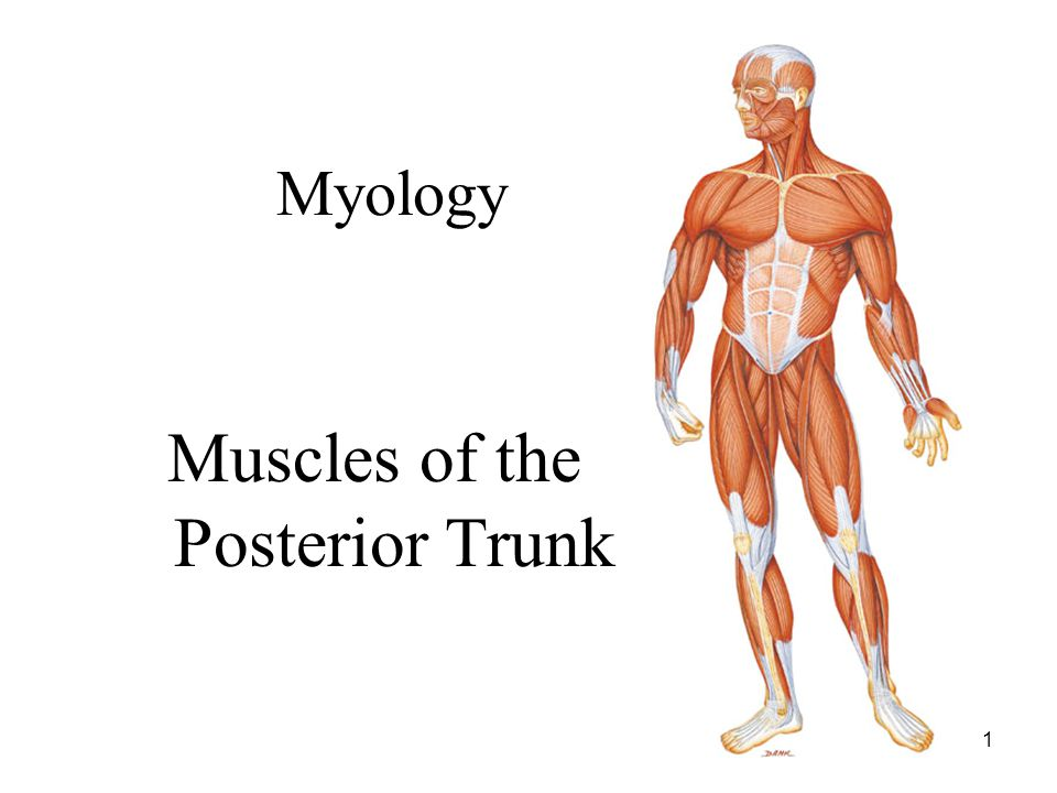 Muscles of the Posterior Trunk