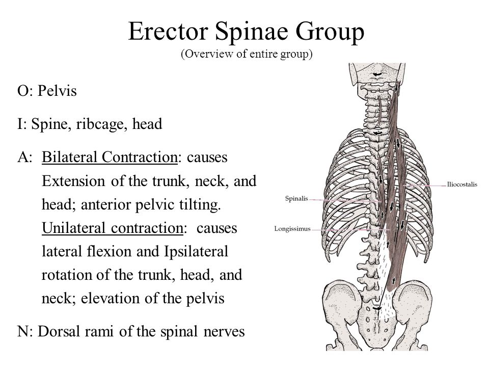 Erector Spinae Group (Overview of entire group)