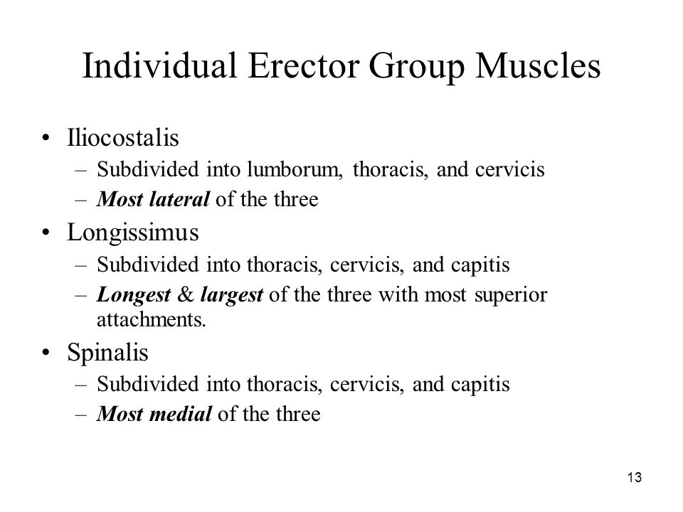 Individual Erector Group Muscles