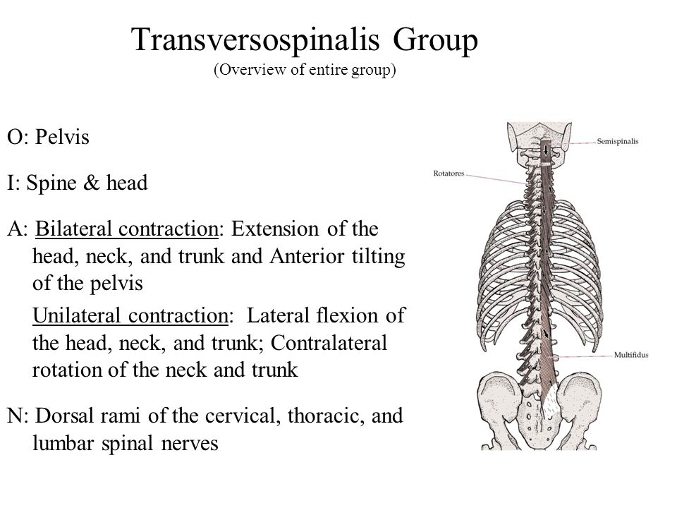 Transversospinalis Group (Overview of entire group)