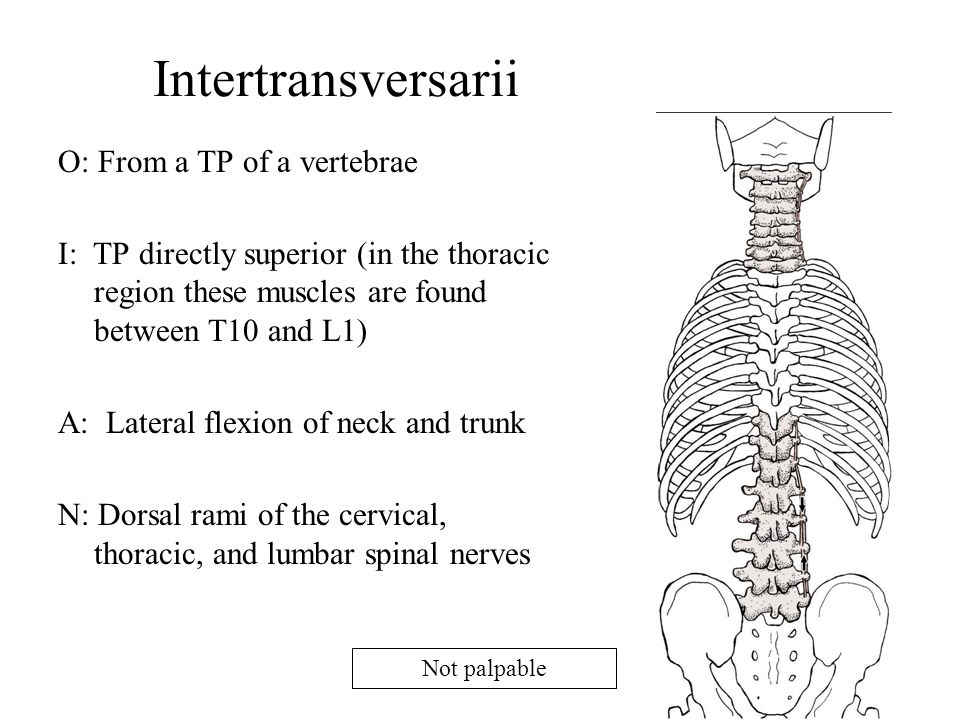 Intertransversarii O: From a TP of a vertebrae
