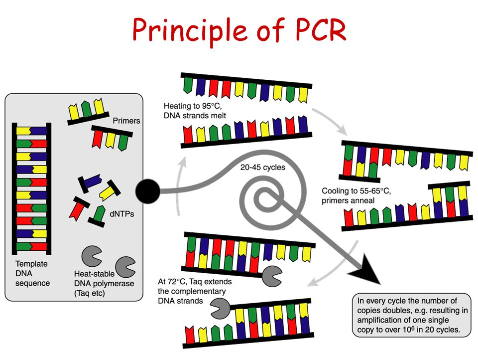 Principle of PCR