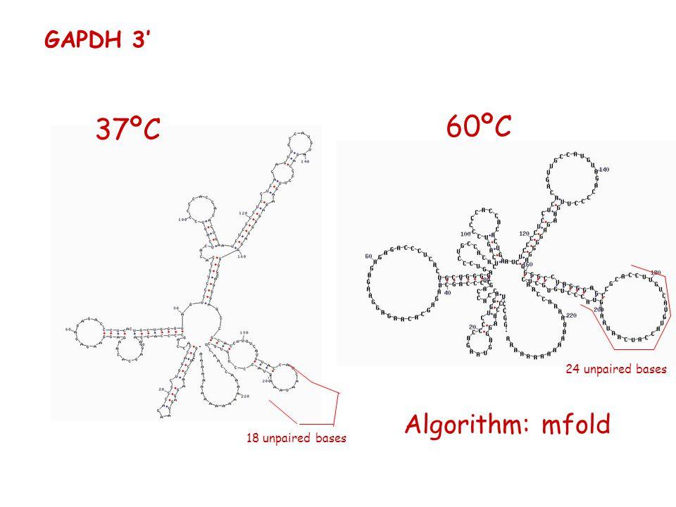 60ºC 37ºC Algorithm: mfold GAPDH 3' 24 unpaired bases