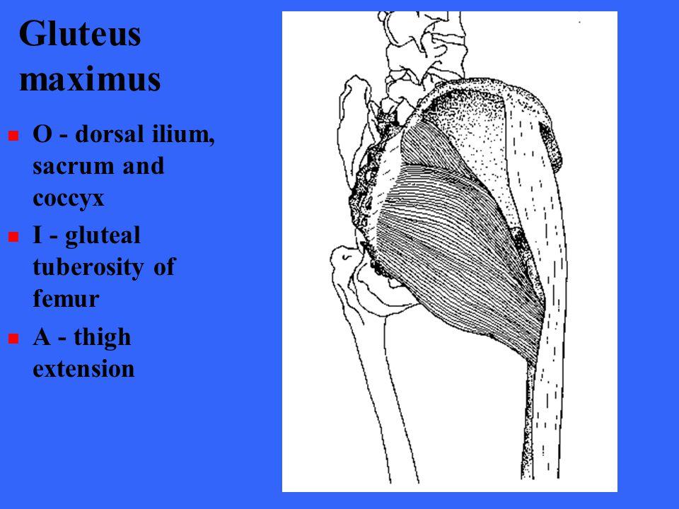 Gluteus maximus O - dorsal ilium, sacrum and coccyx