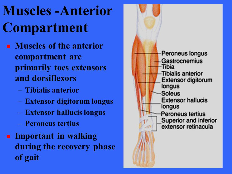Muscles -Anterior Compartment