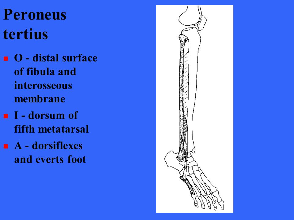 Peroneus tertius O - distal surface of fibula and interosseous membrane. I - dorsum of fifth metatarsal.