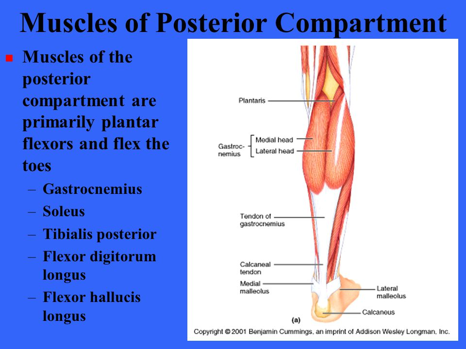 Muscles of Posterior Compartment