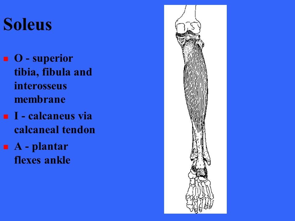 Soleus O - superior tibia, fibula and interosseus membrane