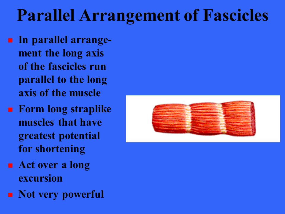 Parallel Arrangement of Fascicles