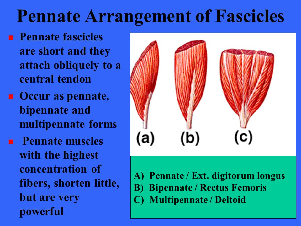 Pennate Arrangement of Fascicles