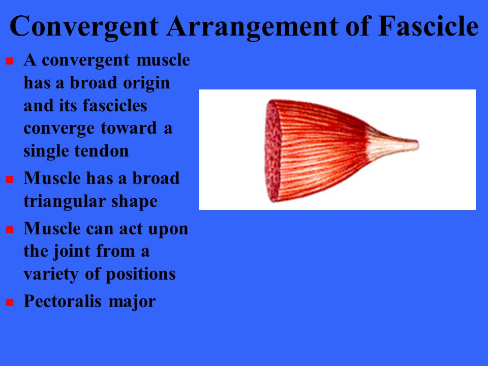 Convergent Arrangement of Fascicle