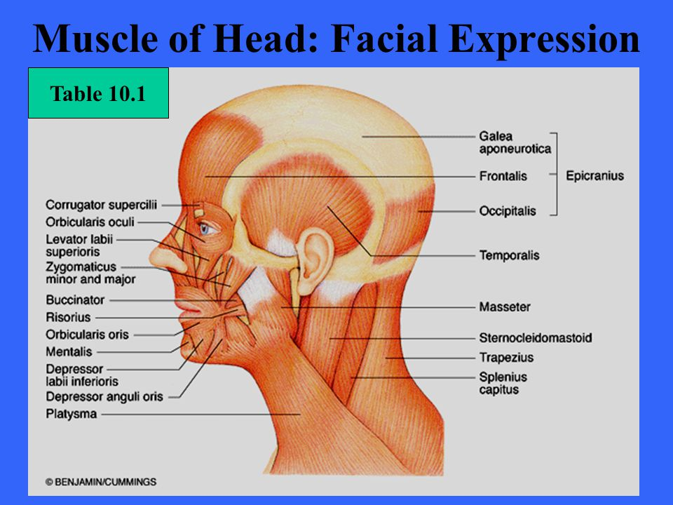 Muscle of Head: Facial Expression