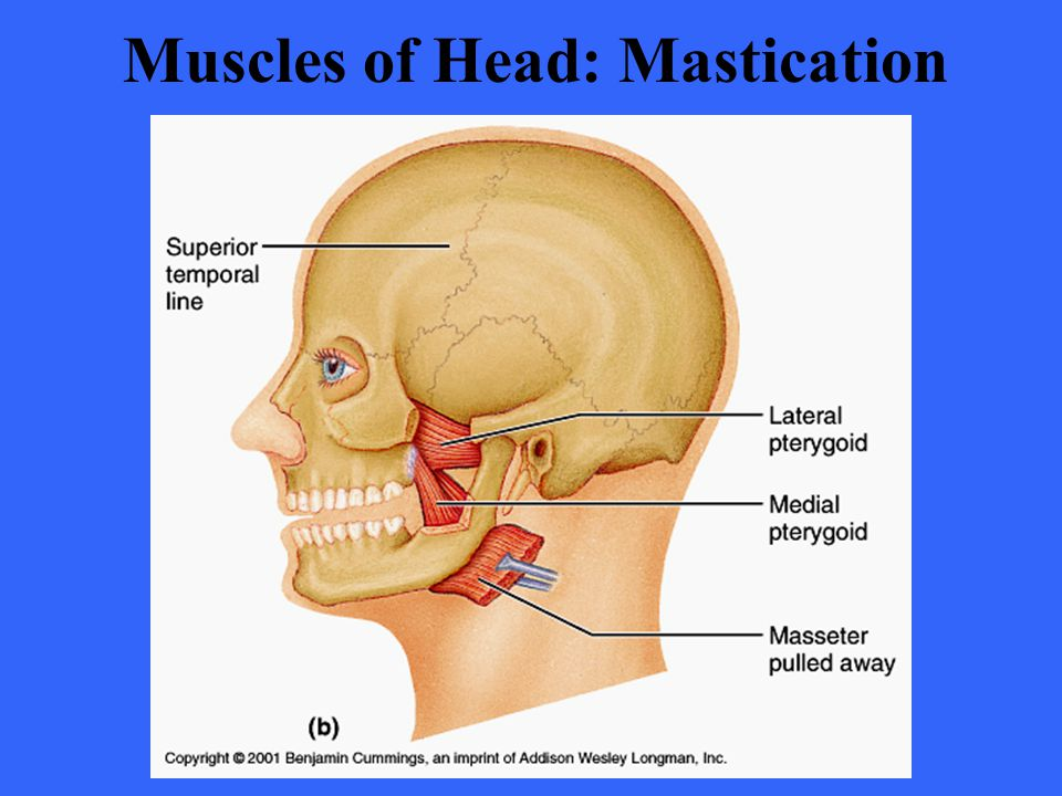 Muscles of Head: Mastication