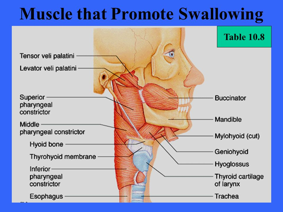 Muscle that Promote Swallowing