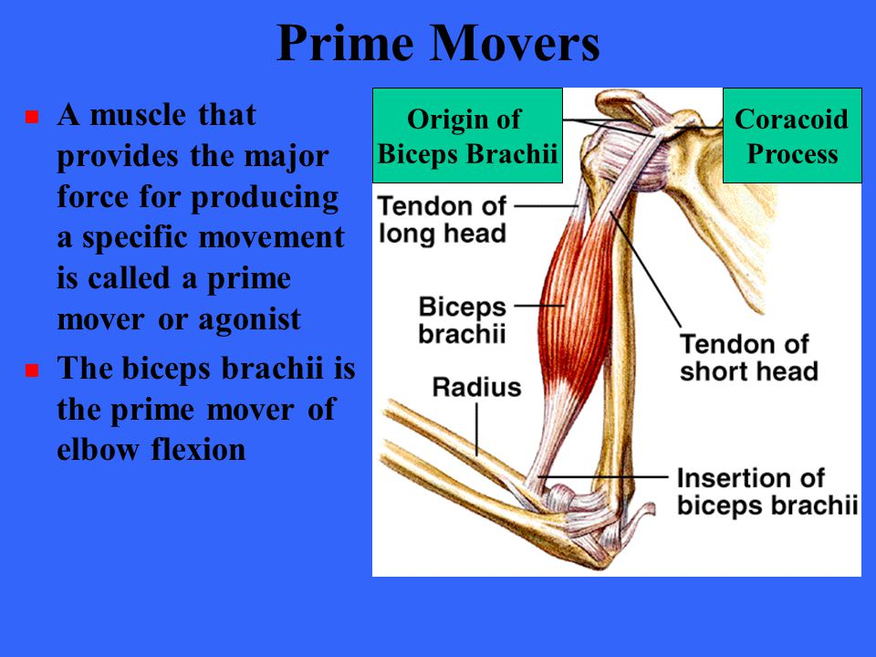 Prime Movers A muscle that provides the major force for producing a specific movement is called a prime mover or agonist.