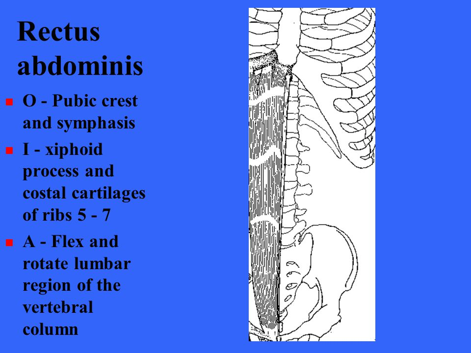 Rectus abdominis O - Pubic crest and symphasis