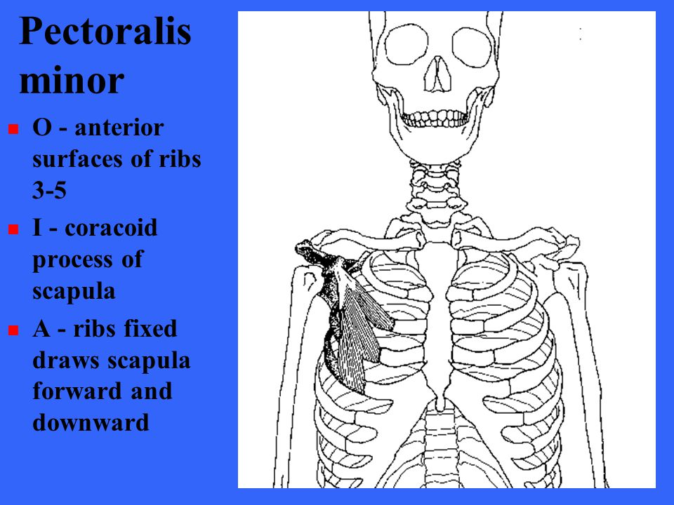 Pectoralis minor O - anterior surfaces of ribs 3-5