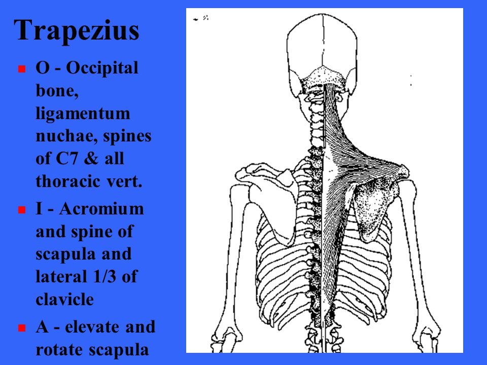 Trapezius O - Occipital bone, ligamentum nuchae, spines of C7 & all thoracic vert. I - Acromium and spine of scapula and lateral 1/3 of clavicle.