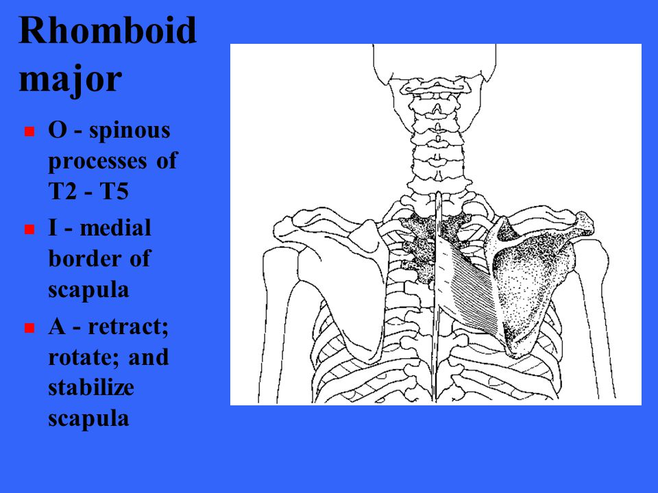Rhomboid major O - spinous processes of T2 - T5