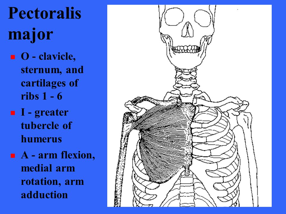 Pectoralismajor O - clavicle, sternum, and cartilages of ribs 1 - 6