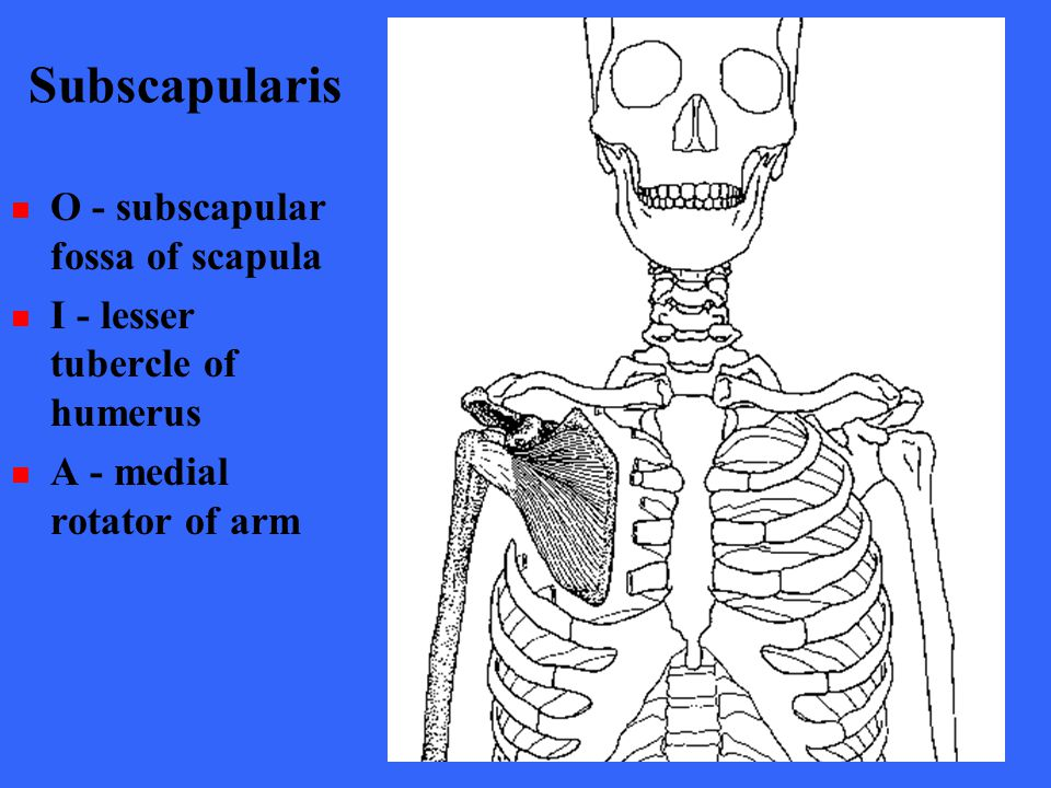 Subscapularis O - subscapular fossa of scapula