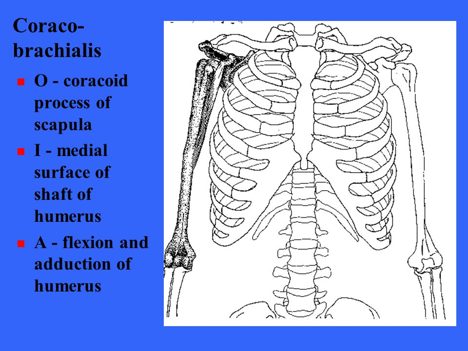 Coraco- brachialis O - coracoid process of scapula