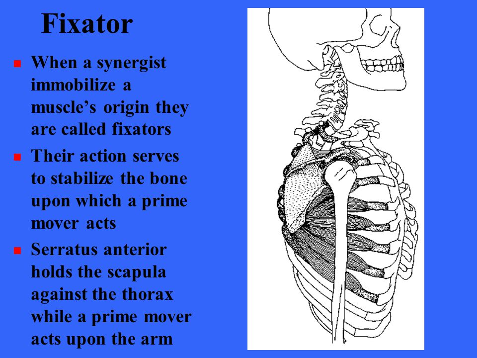 Fixator When a synergist immobilize a muscle's origin they are called fixators.