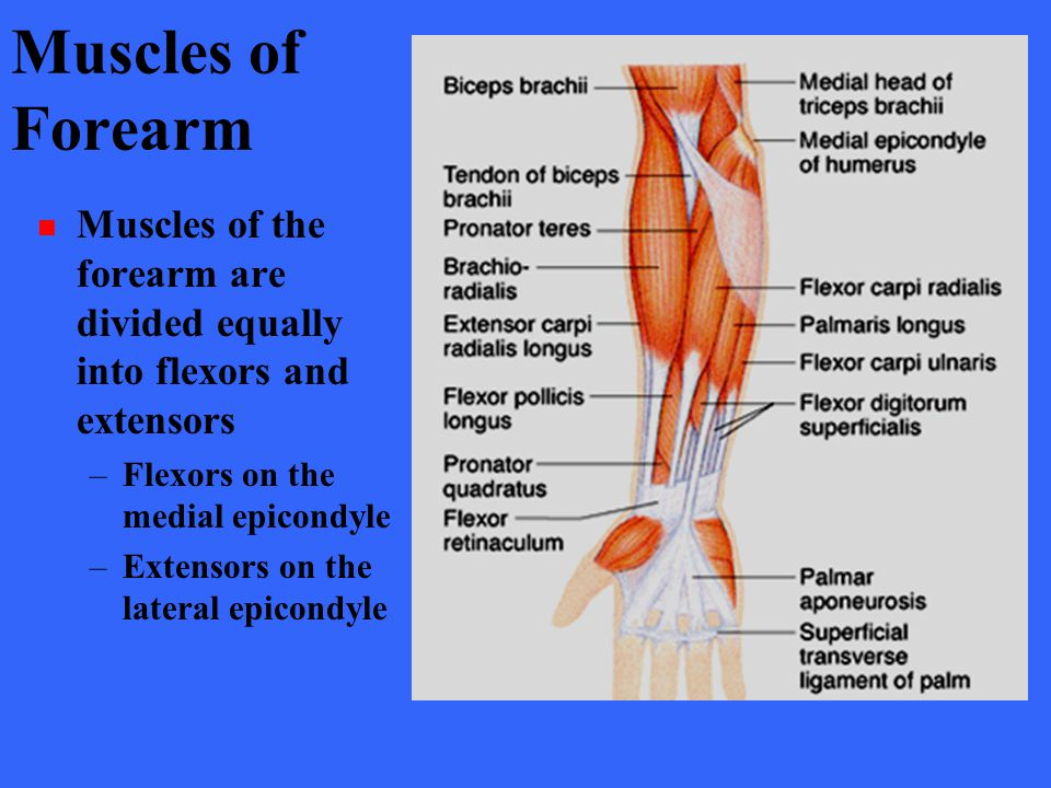 Muscles of Forearm Muscles of the forearm are divided equally into flexors and extensors. Flexors on the medial epicondyle.
