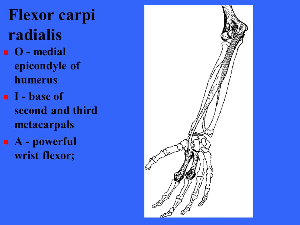 Flexor carpi radialis O - medial epicondyle of humerus