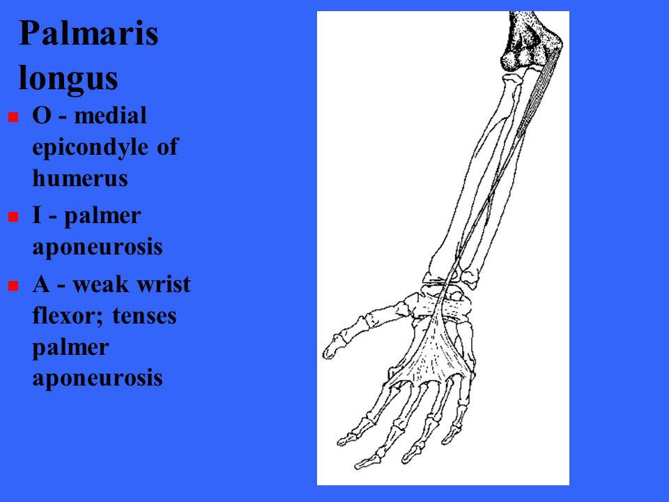 Palmaris longus O - medial epicondyle of humerus