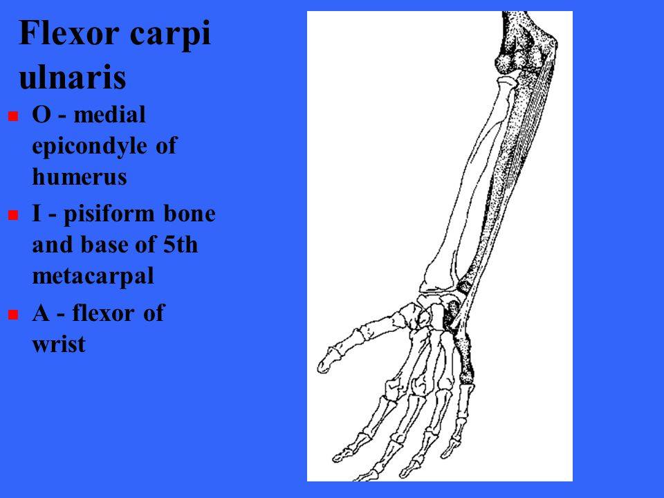Flexor carpi ulnaris O - medial epicondyle of humerus